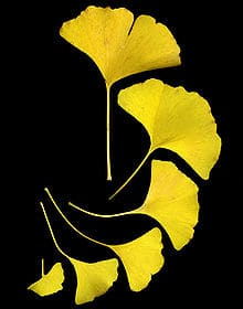 220px-GinkgoLeaves