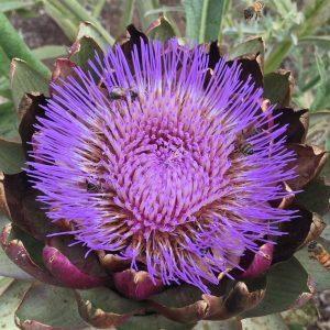 Artichoke Flrw cropped